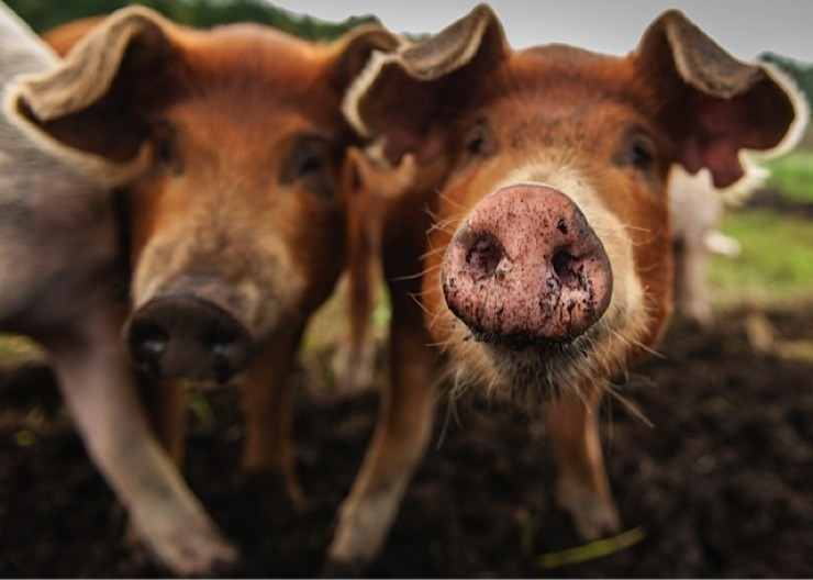 Finnriver-pigs