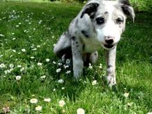 finnriver pup small